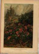Alpok rózsája